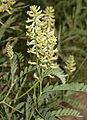 Wild licorice Glycyrrhiza lepidota McGee.jpg