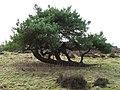 Wind shaped tree - geograph.org.uk - 1147997.jpg