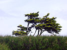 Windswept tree South England.jpg