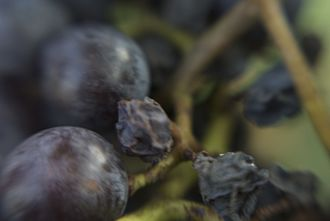 Food browning - A desirable enzymatic browning reaction is involved in the process of grapes becoming raisins.