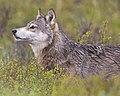 Wolf Profile (5300989495).jpg