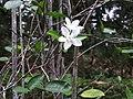 Wrightia antidysenterica-2-JNTBGRI-kerala-India.jpg