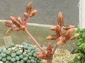 XN Welwitschia mirabilis 02.jpg