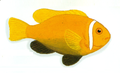 XRF-Amphiprion nigripes.png