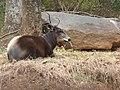 Yellow-backed Duiker.jpg