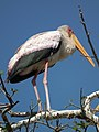 Yellow-billed Stork Mycteria ibis in Tanzania 4600 cropped Nevit.jpg