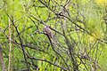 Yellow-billed cuckoo (27045053492).jpg