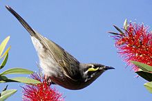 Honeyeater balancing on a bottlebrush flower