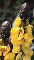 Yellow Flower 2 (3308592335).jpg