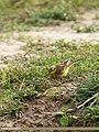 Yellow Wagtail (Motacilla flava) (32044503134).jpg