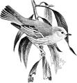 Yellow Warbler-Birdcraft-0115-10.png