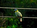Yellow legged green pigeon.jpg