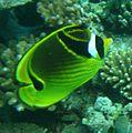 Yellowfish3.JPG
