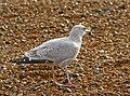 Young Herring Gull - geograph.org.uk - 1569513.jpg