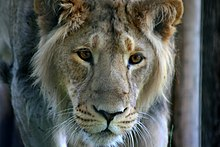 220px-Young_Male_Asiatic_Lion.jpg