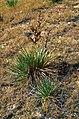 Yucca glauca subsp. albertana fh 1179.72 Canada B.jpg
