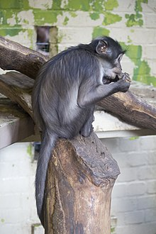 ZSL London - White-naped Mangabey.jpg