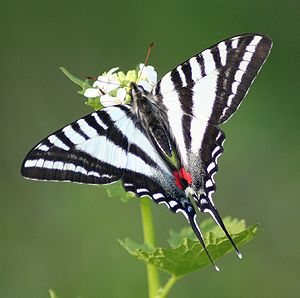 Zebra Swallowtail (spring form), Eurytides mar...