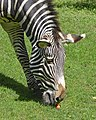 Zebra with carrot.jpg