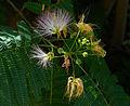 Zijdebloemboom B.jpg