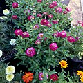 Zinnia-zahara-double-cherry-IMG 8405.jpg