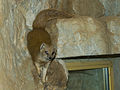 Zoo Praha, Cynictis penicillata, 8.jpg