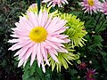 """""""бал хризантем"""" в Нікітському ботанічному саді, 6.jpg"""