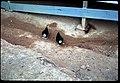 """""""Chickens"""", Hill 10, April 1969.jpg"""