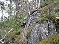 """""""Mumifiserte"""" trær i Sogndal (4025565938).jpg"""