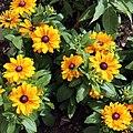 """Rudbeckia hirta"" Black-eyed Susan Gibberd Garden Essex England (cropped).JPG"