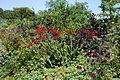 'Crocosmia × crocosmiiflora' Montbretia in Walled Garden border of Parham House, West Sussex, England 1.jpg
