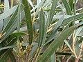 'Eucalyptus approximans foliage.jpg
