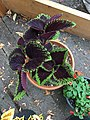 'Giant Exhibition Magma' coleus IMG 1038.jpg