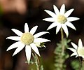 (1)Flannel Flower.jpg