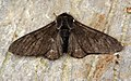 (1931) Peppered Moth (Biston betularia) ab.carbonaria (7416106952).jpg