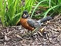 ^04 - 2013 September NPC - Robin hunting - panoramio.jpg