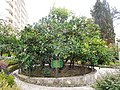 «Дерево дружбы» с прививками, сделанными гостями СССР и в честь исторических дат, улица Фабрициуса, 2, Хоста, Сочи.jpg
