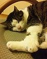 Śpiący kot (2).jpg