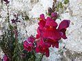 Λουλούδια στο Ορεινό 04.jpg