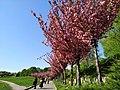 Алея квітучих сакур.jpg