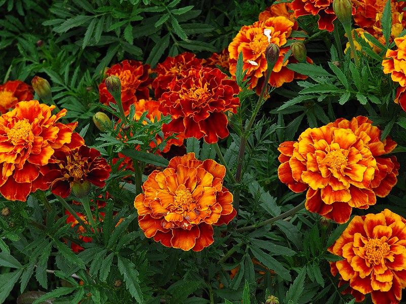 File:Ботанічний сад ім.Фоміна - чорнобривці.JPG