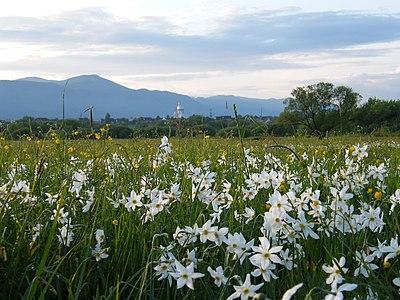 Долина нарцисів 2010 04160216.JPG