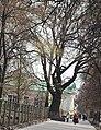 Дуб на Петропавлівській у Сумах.jpg