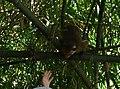 Макак цейлонський (Macaca sinica) (Bondzyukh N).jpg