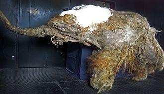 Yuka (mammoth) - Mummified remains