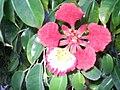 Неизвестный цветок в Шарм-эш-Шэйхе 02.jpg
