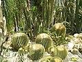 Нікітський ботанічний сад164(алея кактусів).JPG