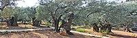 Оld Olive trees in the Garden of Gethsemane, 11.jpg