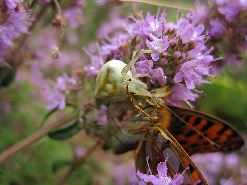 File:Пеперуга плен на пајак (3).JPG