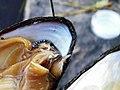 Перламутрица обыкновенная (Unio pictorum) f012.jpg